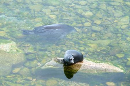 The Baikal seal nerpa bask in the sun Stock Photo