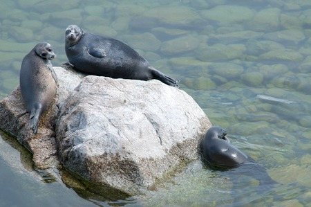 The Baikal seal nerpa bask in the sun Stock Photo