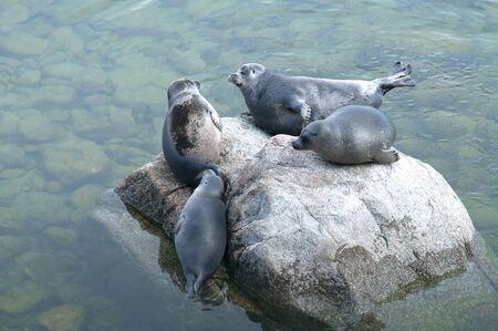 bask: The Baikal seal nerpa bask in the sun Stock Photo