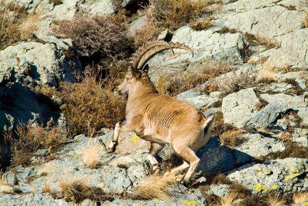 the taiga: Capricorn climbs the mountain in russia taiga Stock Photo