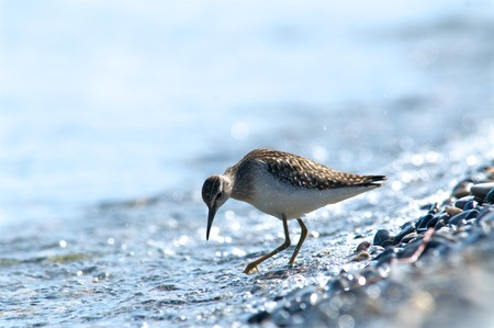 Curlew on the shore of the lake on a background of water, Baikal, Russia