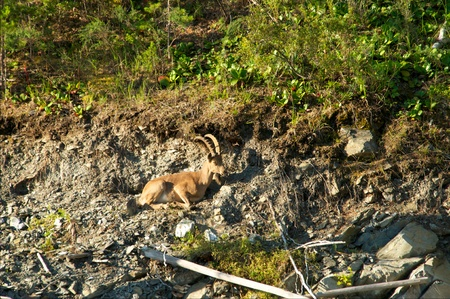 steinbeck: ibex on a background of dead wood, Khakasia, Russia