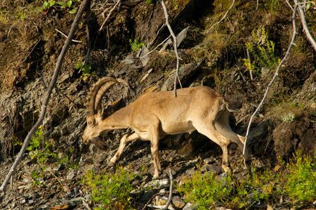 steinbeck: ibex on a background of green forest in the mountains, Khakasia, Russia Stock Photo
