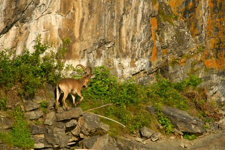 ibex on a background of green forest in the mountains, Khakasia, Russia Stock Photo