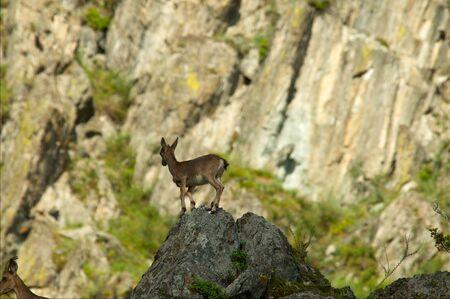 steinbeck: ibex swarm up mountains in Khakasia, Russia