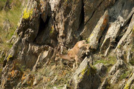 ibex swarm up mountains in Khakasia, Russia