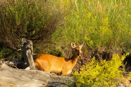 Roe deer on a background of green grass, Khakasia, Russia Stock Photo