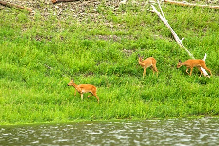 A family of of roe deer grazing in the meadow Khakasia, Russia Stock Photo