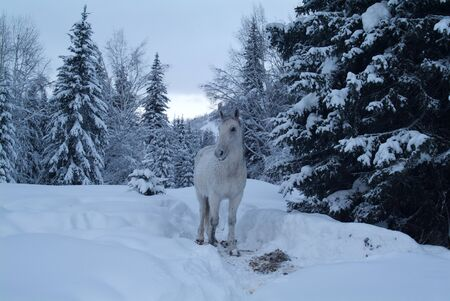 shire horse: White horse among the trees in the winter Altay