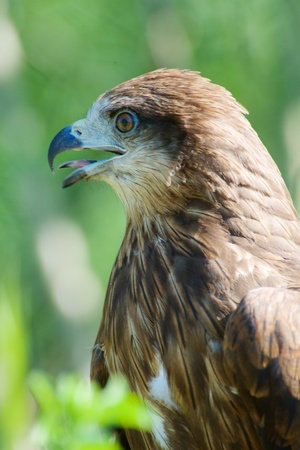 Close-up of hawks head, beautiful feather detail and a powerful, determined gaze