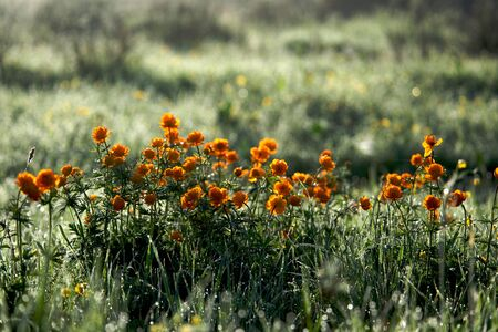 Marigold flowers in the meadow in the sunlight, Russia