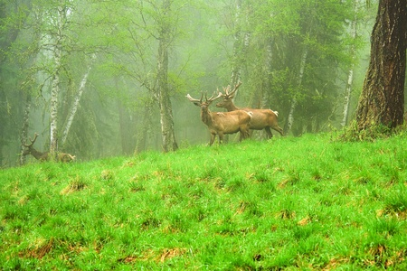 A lone a maral running around on the green grass in the fog, Siberian stag Stock Photo