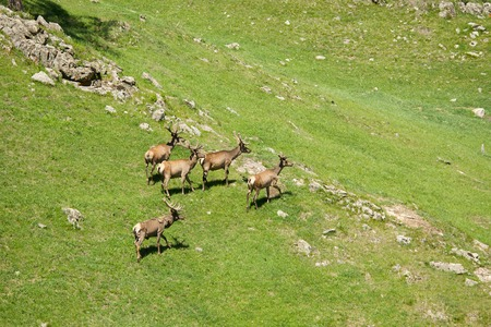 The family of marals fleeing from a photographer, Siberian stag Stock Photo