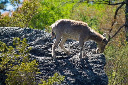 Mountain goat descends on stones