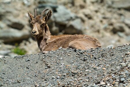 baby goat: Mountain goat descends on stones