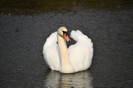 White swan floating on water photo