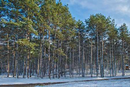 the winter pine forest a clear sky photo