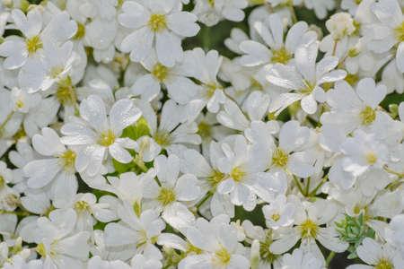 the bush small white flowers photo