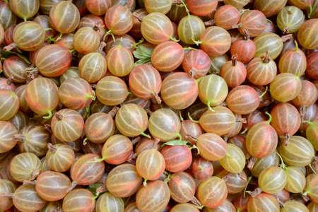 gooseberry bush: plenty of ripe gooseberry bush Stock Photo
