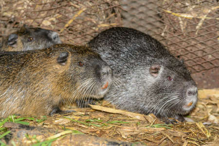 nutria: breeding nutria in house conditions Stock Photo