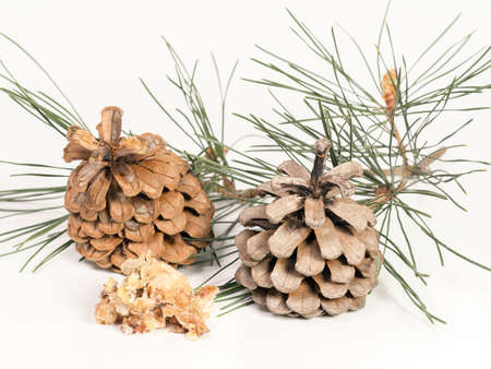 congealed juice and a sprig of pine with cones Фото со стока