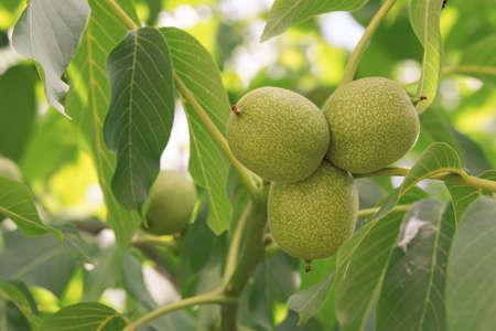 chandler: walnut with unripe nuts