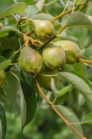 nahaufnahme: the pear growing on the tree
