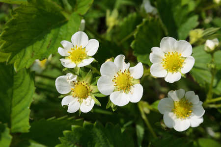 hull: a blooming of strawberries a bush