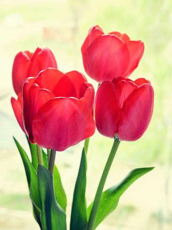 quite: Red tulips not quite open Stock Photo