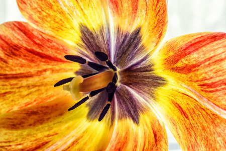 pestel: Pistil and stamens of a blossoming tulip Stock Photo