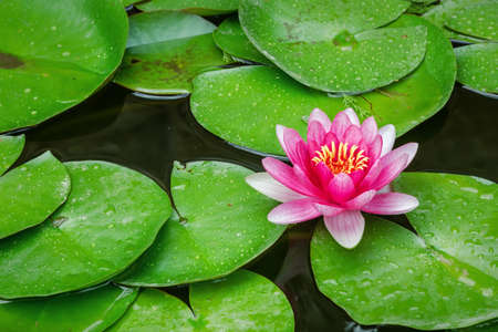Beautiful water Lily bloomed in the pond