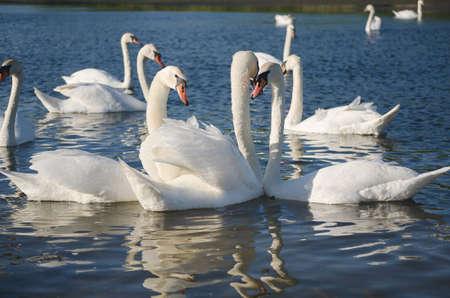 white swans swim on the pond 写真素材