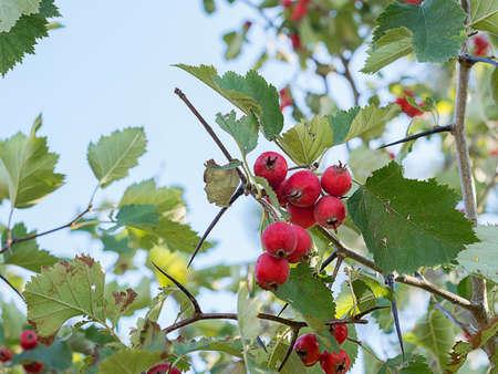 ripe hawthorn on a tree