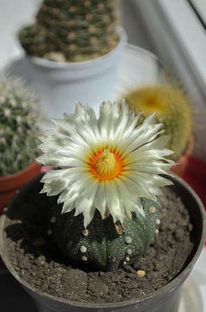 flowering homemade cactus in a pot Archivio Fotografico