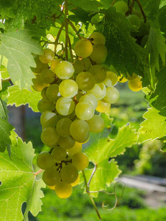 bunch of white grapes on a vine