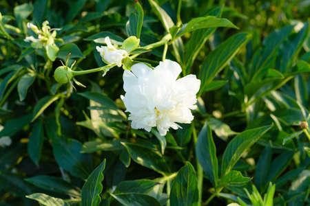odour: flower green no ordinary peony