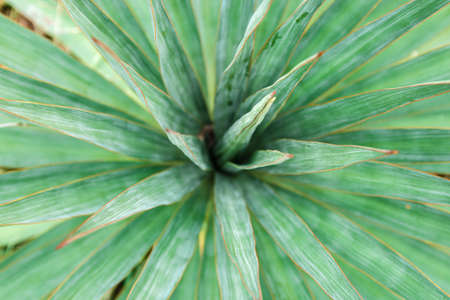 close up view of fresh green tropical plant yucca leaves for background
