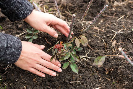 closeup hands of a young woman planting a rose in her garden in early spring