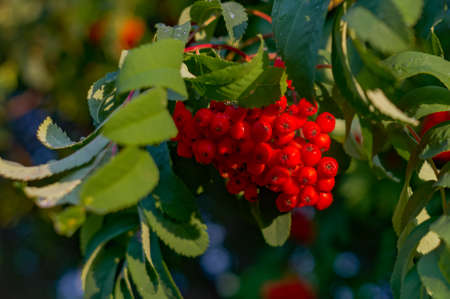 red mountain ash close-up. ripe wild berry on the branch of a Bush. Stock Photo