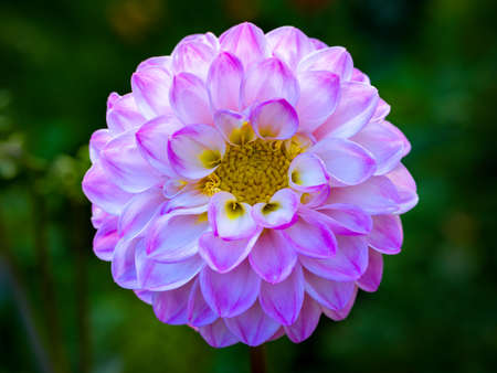 globular Dahlia in the garden closeup 스톡 콘텐츠