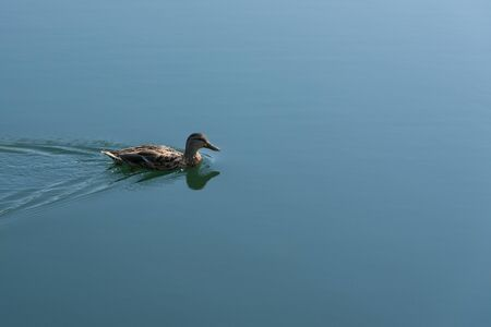 color image mallard duck: Mallard duck swimming alone on the blue lake  Stock Photo