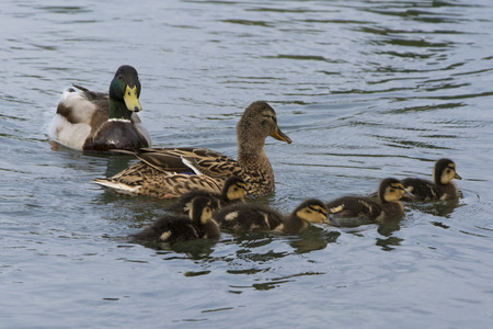 Duck mother with chicks swimming in the lake Stock Photo