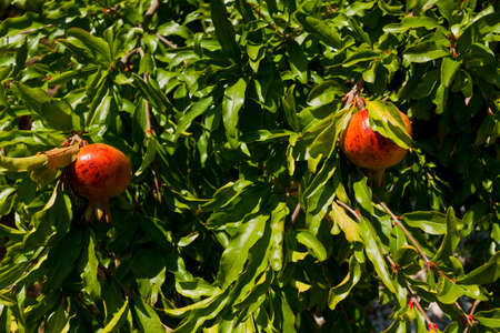 Ripe pomegranates on the tree in the orchard. photo