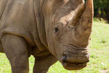 Rhinoceros on wild safari.