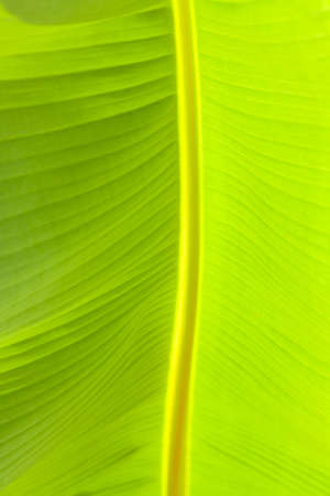 diagonale: Close-up view of the banana leaf.