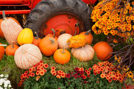 pumpkin patch: Colorful Fall holiday decorations at the farm.