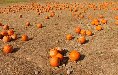 Pumpkin patch at the farm for pumpkin picking.