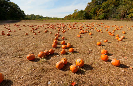 Pumpkin patch at the farm for pumpkin picking. photo