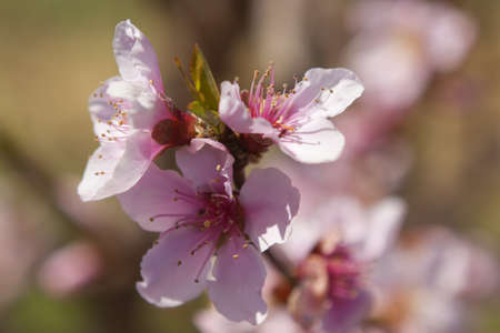 Blossoming orchard in the spring.