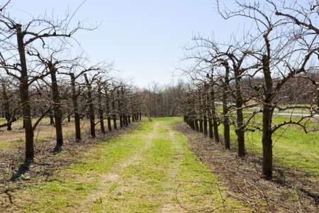 Blossoming orchard in the spring. photo